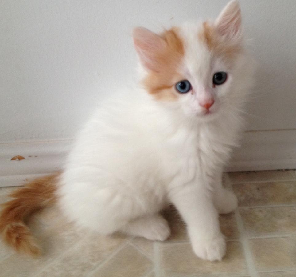 50 Most Cute Turkish Van Kitten