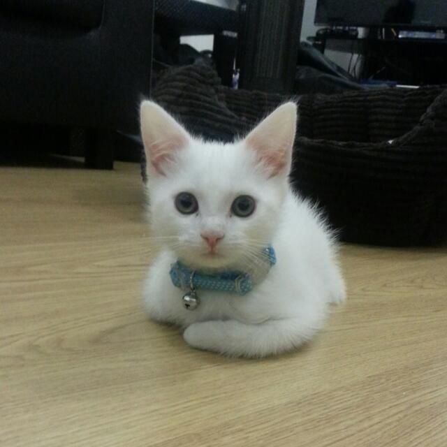 Orange Turkish Angora 50 Most Cute Turkish V...