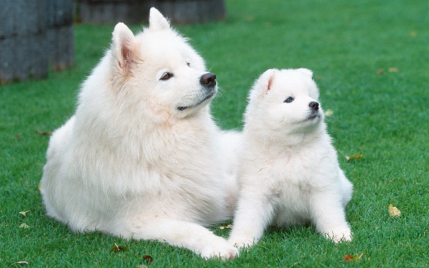 50 most beautiful samoyed dog pictures and photos samoyed female dog with puppy voltagebd Image collections