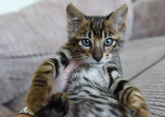 Toyger Cattery