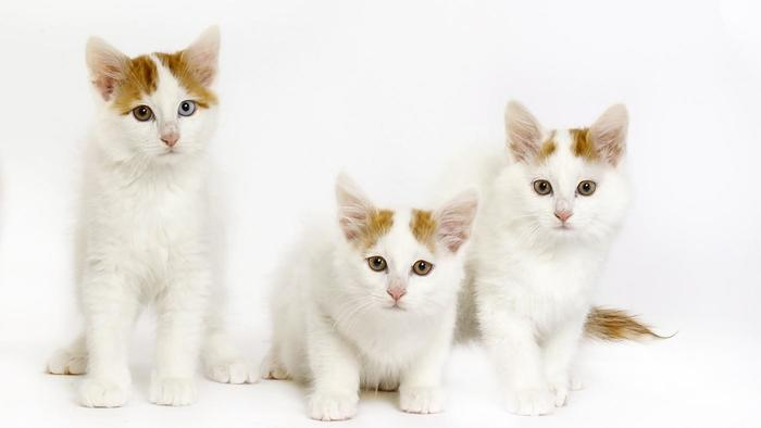 216f6c26a2 50 Most Cute Turkish Van Kitten Pictures