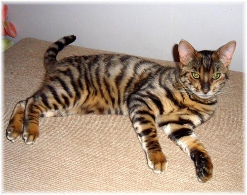 кот похожий на тигра фото цена
