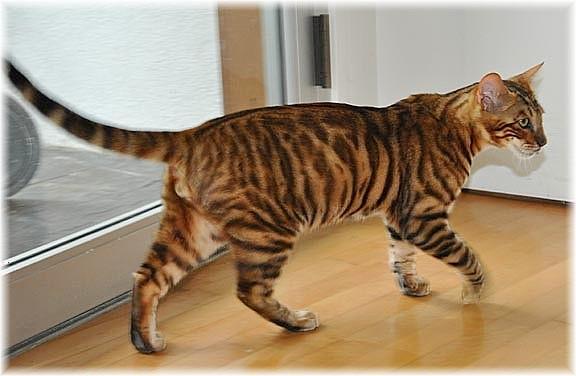 tiger chat