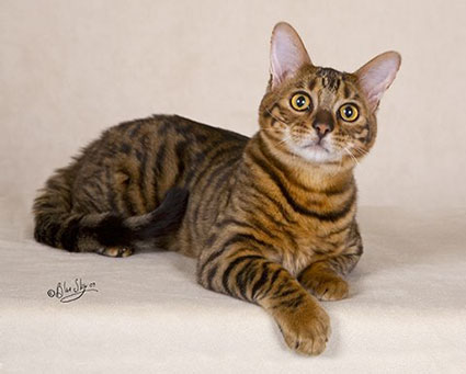 65 adorable toyger cat pictures and photos