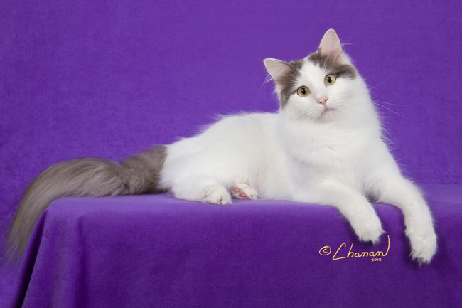 37fe8ccbf3 Turkish Van Kittens Black And White