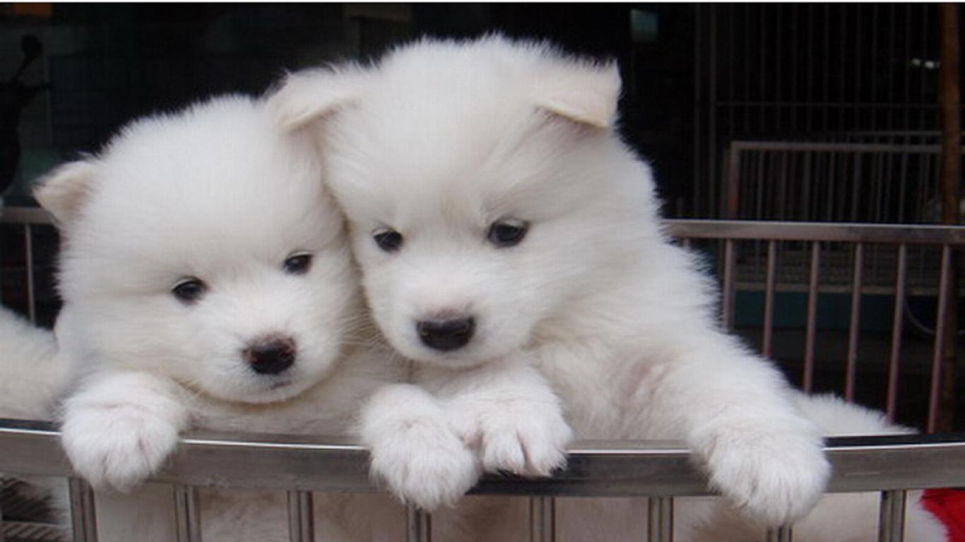 белый щенок самоед бесплатно