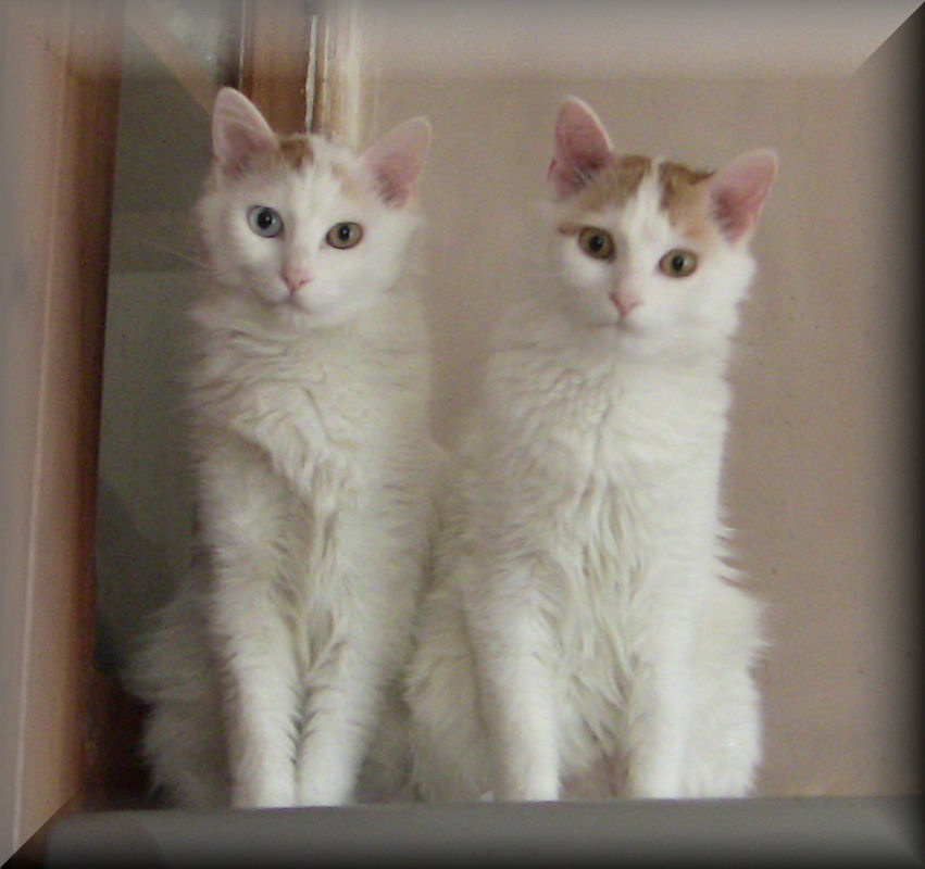 127aa3cf89 70 Adorable Turkish Van Cat Pictures And Images