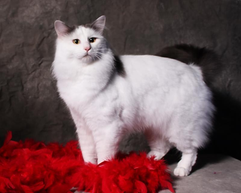 282d778568 70 Adorable Turkish Van Cat Pictures And Images