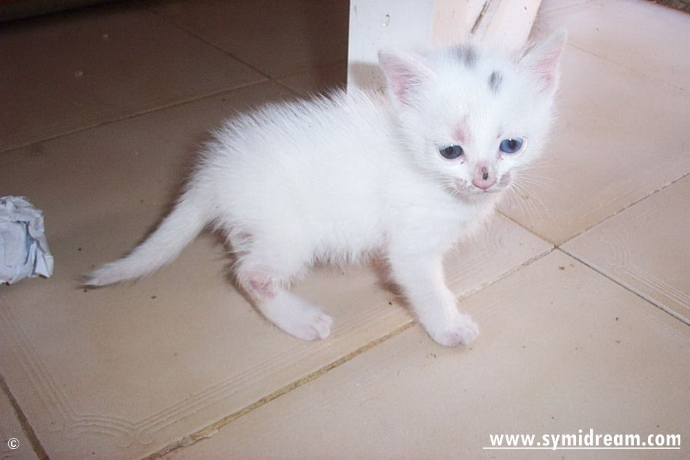Turkish van kittens for sale qld