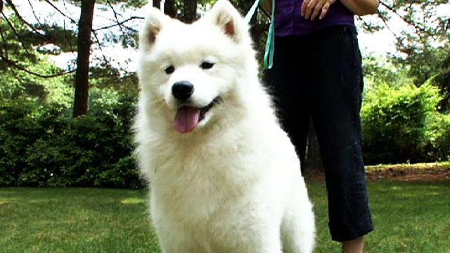 50 most beautiful samoyed dog pictures and photos