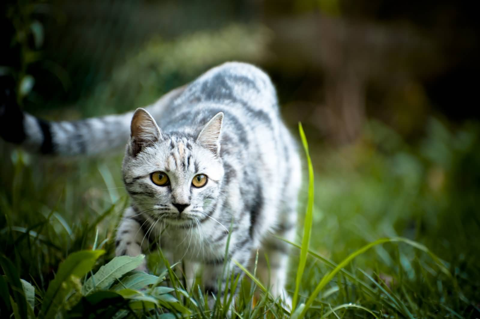 White-Toyger-Cat-Outside-Picture.jpg