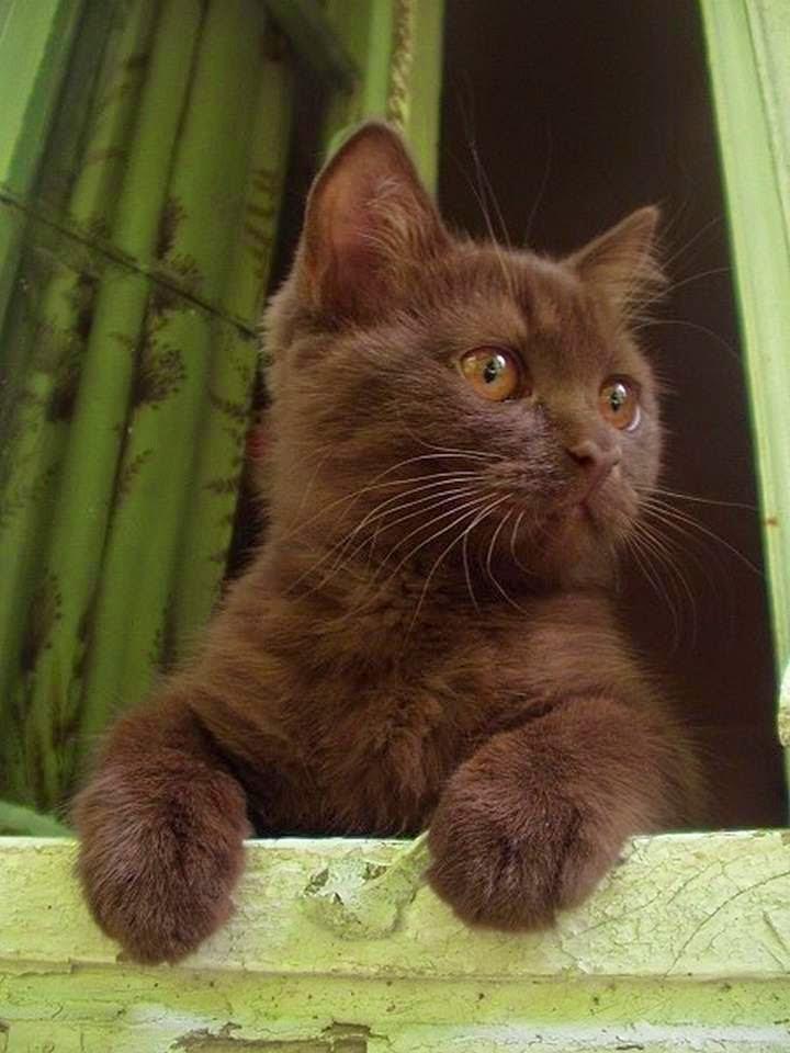темно-шоколадный котенок фото