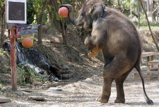 Elephant Playing Basketball Funny Sports