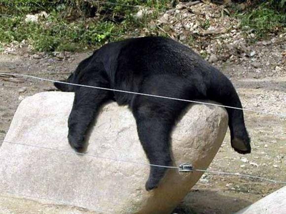 Funny-Bear-Sleeping-On-Rock.jpg