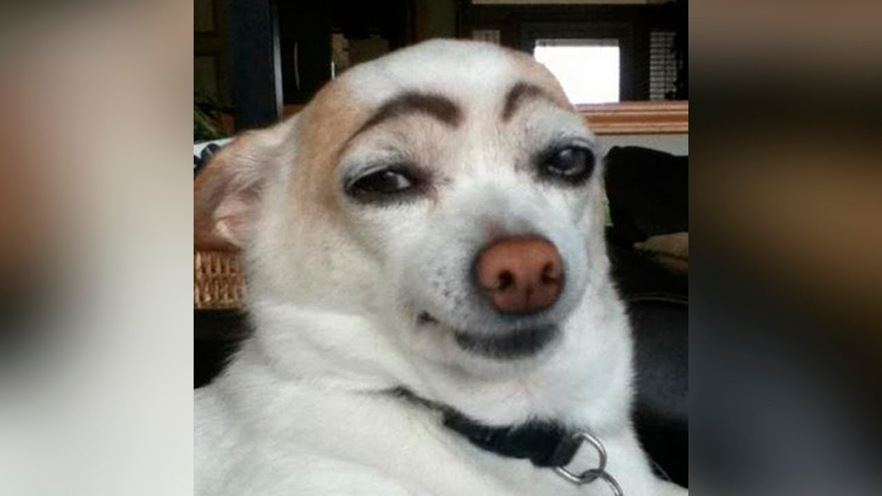 Funny dog face with eyebrows voltagebd Image collections