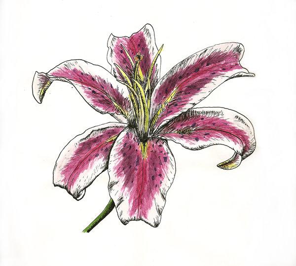 Stargazer Lily Flower Tattoo Designs