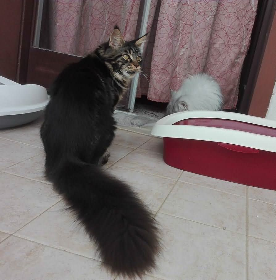 7 months Maine coon cat with chinchilla Persian