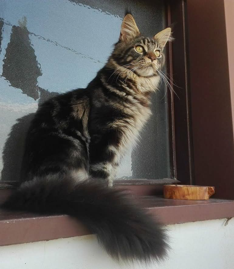 7 months Maine coon cat