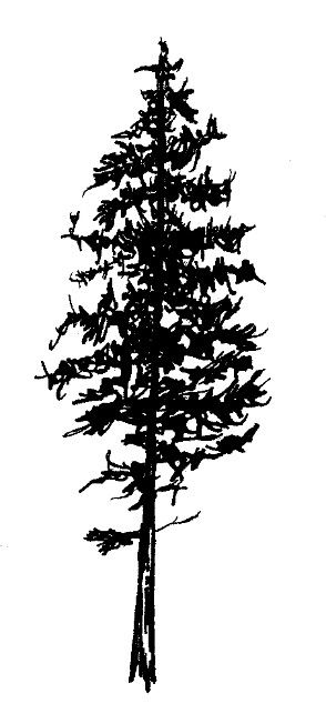 Awesome Black Ink Pine Tree Tattoo Design