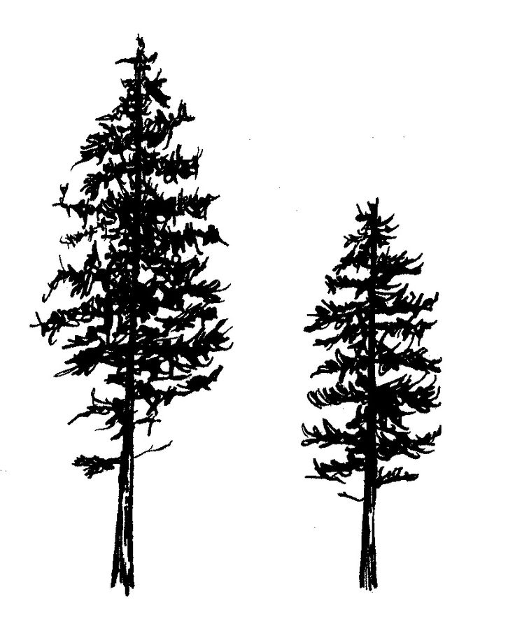 two pine tree tattoos design
